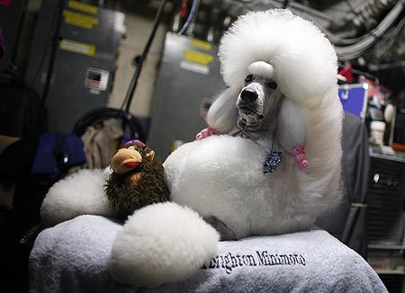 Westminster_kennel_club_show_poodle