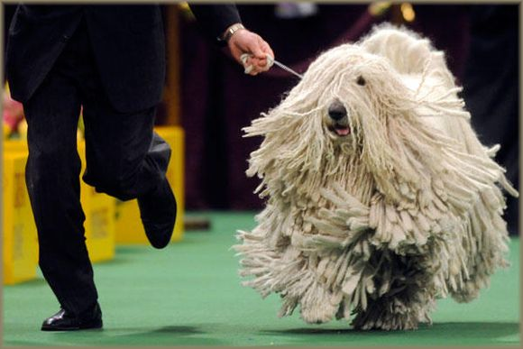Mop Dog somehow not best in show